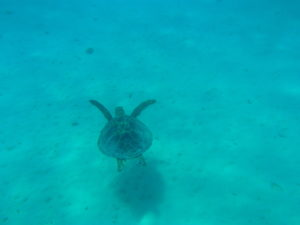 champagne beach turtle